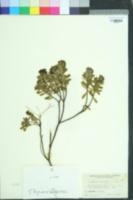 Image of Daphne cneorum