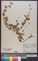 Acaena anserinifolia image