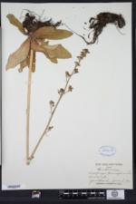 Micranthes pensylvanica image