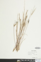 Aristida curtissii image