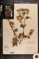 Ageratina altissima var. roanensis image