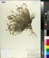 Image of Astragalus tenuifolius