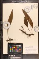 Image of Colysis wrightii