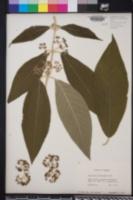 Image of Callicarpa macrophylla