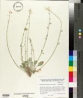 Lesquerella purpurea image