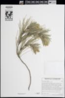 Pinus halepensis image