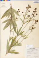 Coreopsis tripteris image