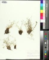 Sabulina fontinalis image