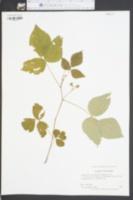 Desmodium pauciflorum image