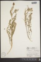 Astragalus puniceus image
