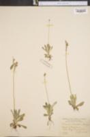 Image of Primula intercedens