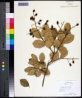 Image of Viburnum utile
