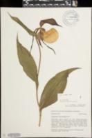 Image of Cypripedium kentuckiense
