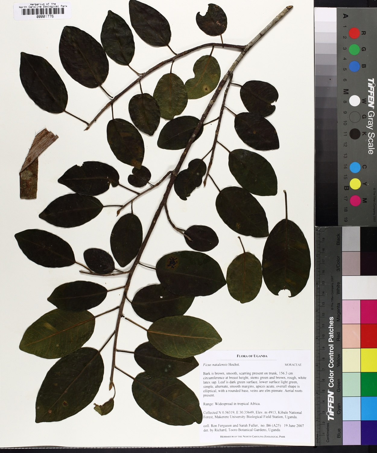 Ficus natalensis image