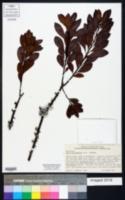 Image of Myrica heterophylla
