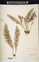 Adenophorus tamariscinus image