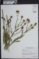 Image of Centaurea x moncktonii