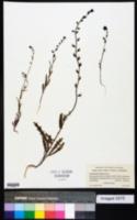 Image of Streptanthus insignis