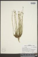 Wahlenbergia marginata image