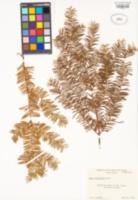 Taxus brevifolia image