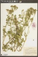 Phacelia congesta image