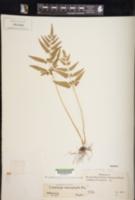 Image of Lindsaea heterophylla