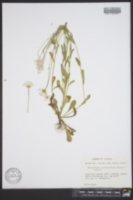 Bellis integrifolia image