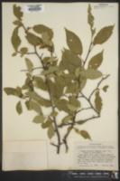 Image of Prunus rivularis