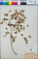 Perityle palmeri image