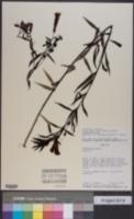 Image of Agalinis lanceolata