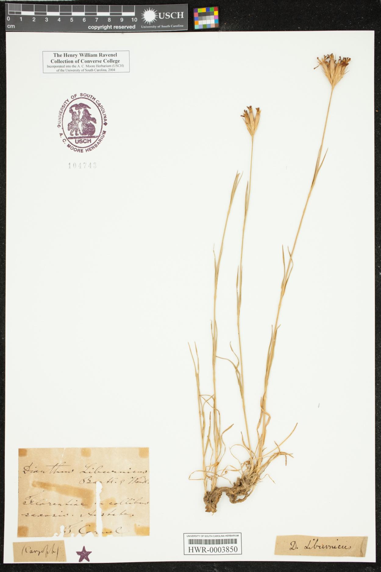 Dianthus liburnicus image