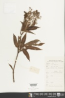 Image of Sambucus javanica