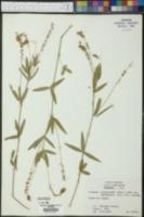 Psoralea psoralioides image