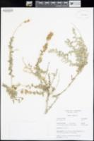 Atriplex glauca image