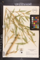 Image of Phyllostachys pubescens