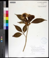 Image of Tabernaemontana dichotoma