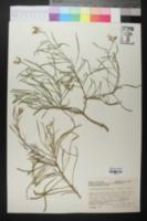 Image of Nerisyrenia linearifolia