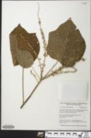 Image of Croton palanostigma