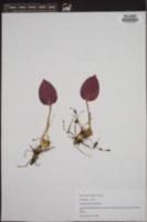 Tipularia discolor image
