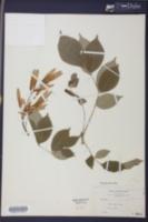 Fraxinus biltmoreana image