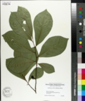 Asimina parviflora image