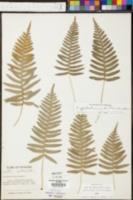 Polypodium appalachianum image