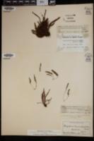 Image of Amphoradenium hymenophylloides