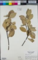 Garrya flavescens image