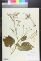 Image of Nicotiana nudicaulis