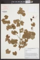 Image of Vitis munsoniana