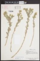 Image of Heterotheca fastigiata