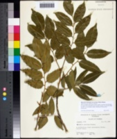 Myroxylon balsamum image