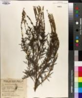 Ambrosia tenuifolia image