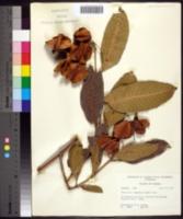 Image of Terminalia tomentosa